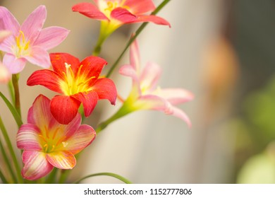 Beautiful picture of Rain Lily (Zephyranthes) blooming in the garden. Natural background. Sweet flower. Copy space.