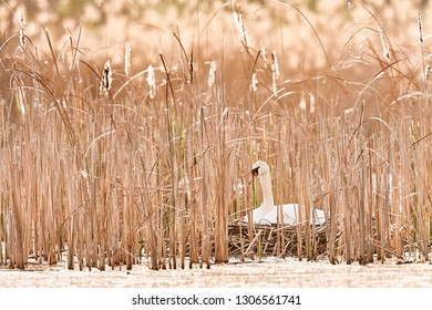 Beautiful picture of Swans - Cygnus cygnus on the nest. Typical spring photo with beautiful light. Wildlife scene from Czech republic
