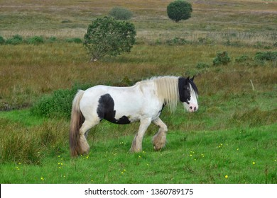 Beautiful piebald horse in Ireland. The horse has a long mane and feathering. It's walking. Landscape in the background.