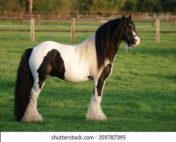 A beautiful pieblad stallion stands in a meadow