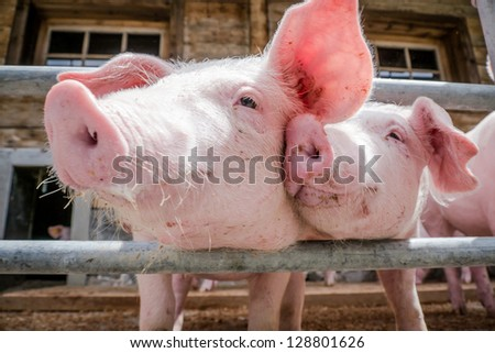 beautiful piglets at a farm