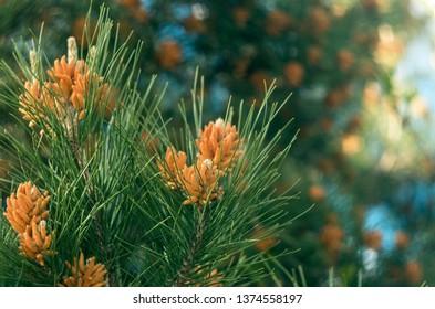 Beautiful pine buds closeup
