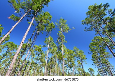 Beautiful pine flatwoods of Florida on a clear day