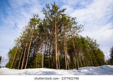A beautiful pine forest on the background of blue sky. Natural photo.