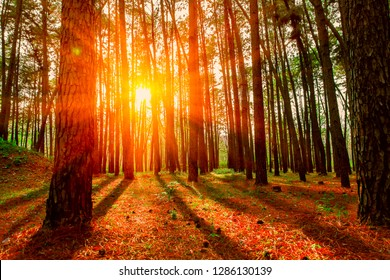 Beautiful Pine forest in Spring at sunset time, larch forest with sunlight and shadows at sunset. Out of focus.