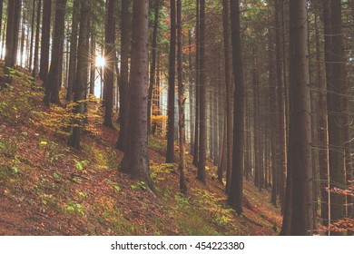 Beautiful pine forest in sunlight, nature outdoors background, suitable for wallpaper - Shutterstock ID 454223380