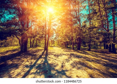 Beautiful pine forest in sunny day.