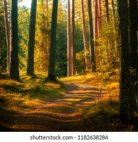 beautiful pine tree forest, good for background