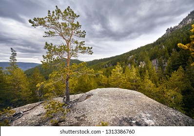 Beautiful pine tree in the forest at rocky mountains of Karkaraly national park in Central Kazakhstan