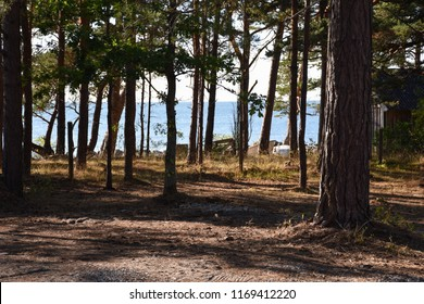 Beautiful pine tree forest at the swedish island Oland in the Baltic Sea