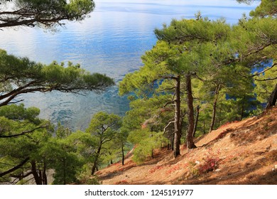 Beautiful pine trees growing on the slope against the backdrop of the sea