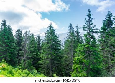 Beautiful pine trees on background high mountains. Kackar Mountain, Rize - Turkey