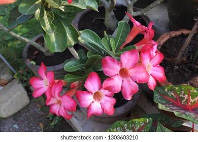 Beautiful Pink Adenium flower in the nature.(Adenium obesum (Fosk.) Roem. & Schult.)