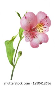 beautiful pink alstroemeria flower isolated on white