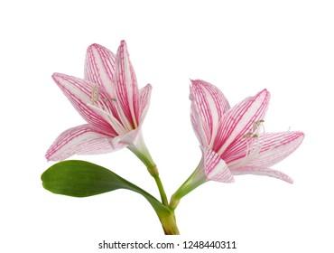 beautiful pink Amaryllis flower isolated on white background
