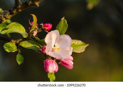 Beautiful pink apple tree flower by a natural background
