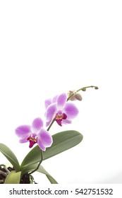 beautiful pink Archidea on white background isolated
