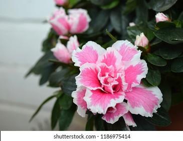 Beautiful pink azaleas flowers on a white background