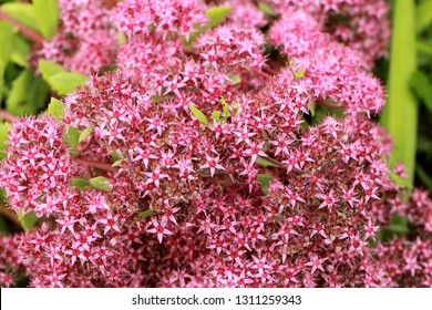 Beautiful pink background of flowers of a medicinal plant