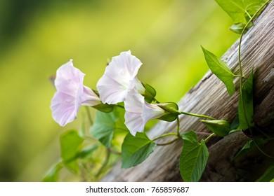 beautiful, pink bindweed wrapped around logs, green background