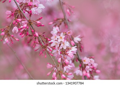 Beautiful pink blossoms on tree branches, with soft pink bokeh background