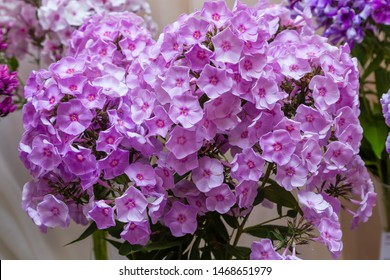 The beautiful pink blossoms of Phlox paniculata. The purple and red flowers of Phlox paniculata.