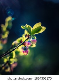 Beautiful pink blueberry flowers in spring. Natural spring scenery in forest. Sunny day, shallow focus. Woodland scenery of Northern Europe with wild berries.