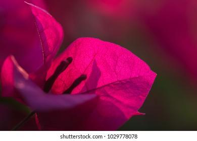 Beautiful pink bougainvillea flower background.pink flower for desktop
