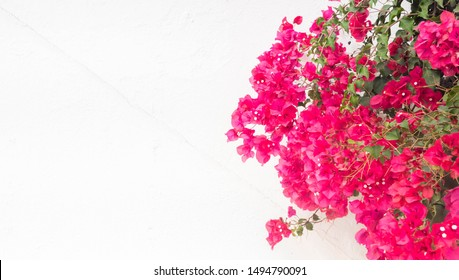 beautiful pink bougainvillea flowers, on white wall - typical exotic plant in Greece,Spain and other south european destinations