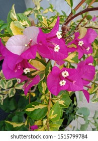 Beautiful Pink Bougainvillea Spectabilis. Also known as great bougainvillea is a species of flowering plant. It is native to Brazil, Bolivia, Peru, Argentina's Chubut Province and many other areas.