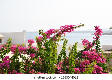 Beautiful pink branch magenta bougainvillea flowers on blue sea backgrounds, mountains and city in Egypt.