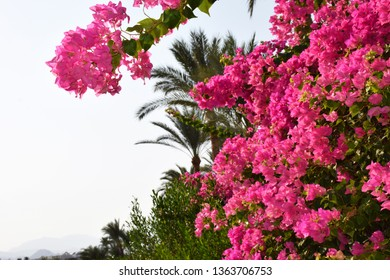 Beautiful pink branch magenta bougainvillea flowers and top palm trees on blue sky backgrounds city in Egypt. Amazing natire concept with copy space for text