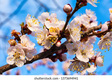Beautiful pink branches of flowering apricots in the spring against the blue sky. Flowering trees in the spring.