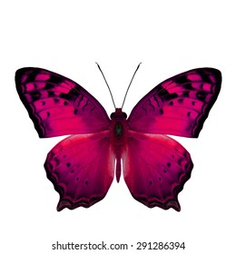The beautiful pink butterfly, Vagrant Butterfly stretch back wings profile in fancy color isolated on white bacground
