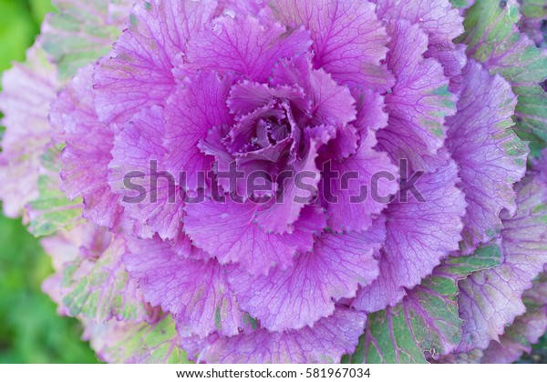 Beautiful pink cabbages.