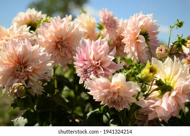 Beautiful pink 'Cafe au lait' dinner-plate dahlia. Photo taken in late morning light, using a tripod.