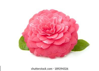 beautiful pink camellia