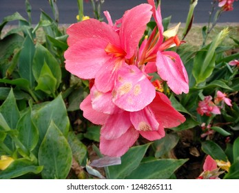 Beautiful pink Canna lily flower blossoming in the garden. Flowers canna lily in the park or garden. Pink canna lily flower that bloom in the botanical garden of Bedugul Bali, Indonesia.