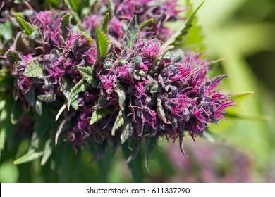 Beautiful Pink Cannabis Flower