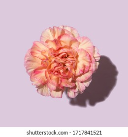 Beautiful pink carnation flower with harsh light and shadow cut on purple background. Top view, flat lay