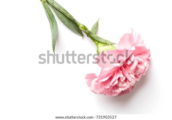 beautiful pink carnation flower isolated on white background