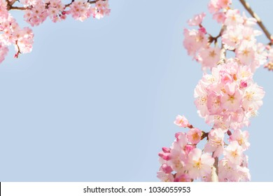 Beautiful pink cherry blossom blooming in the famous park of Japan during the spring and winter.