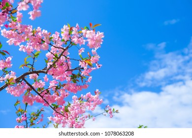 Beautiful pink cherry blossom blooming during Spring season in South Korea.