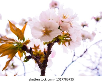 Beautiful pink cherry blossom branch in spring season at Iwakuni, Japan for background.