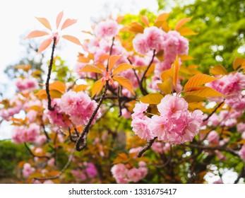 Beautiful pink cherry blossom (Kanzan sakura) in the spring season of Japan