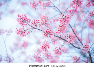 Cherry Blossom Images Stock Photos Vectors Shutterstock