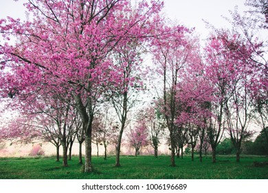 Beautiful of the pink cherry blossom Prunus cerasoides around the Accommodation on the high mountains, the bright pink flowers of Sakura on the beautiful natural scenery background