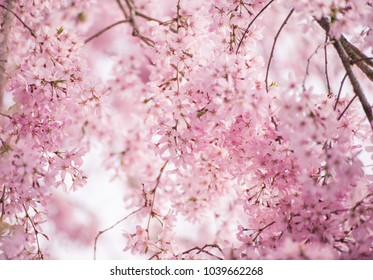 Beautiful pink cherry blossom (Sakura), Soft & Dreamy Effect, Low Clarity, Kyoto, Japan