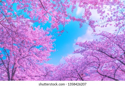 Beautiful pink cherry blossom in spring time over blue sky, Jinhae,South Korea.