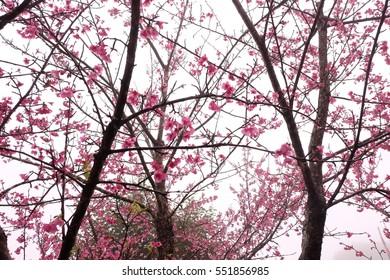 Beautiful pink cherry blossoms.